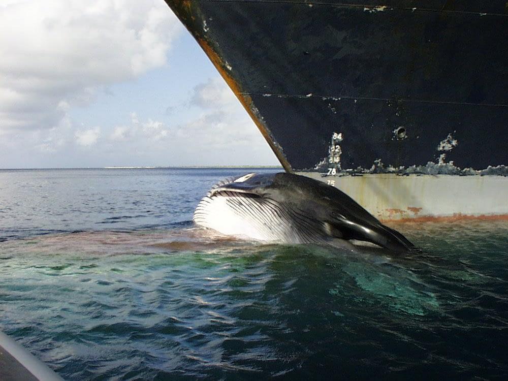 Wildlife Collisionsin the sea